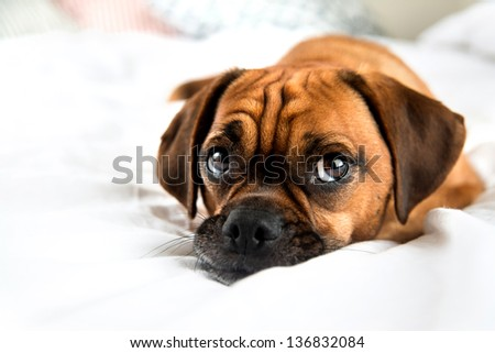 Cute Puggle Looking Laying in Bed on White Sheets - stock photo