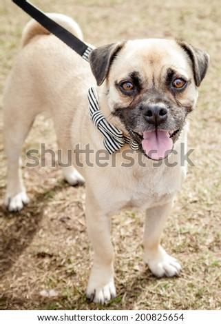Cute Puggle (Pug and Beagle designer mixed breed cross) dog standing with mouth open on a leash and wearing a black and white striped bow tie - stock photo