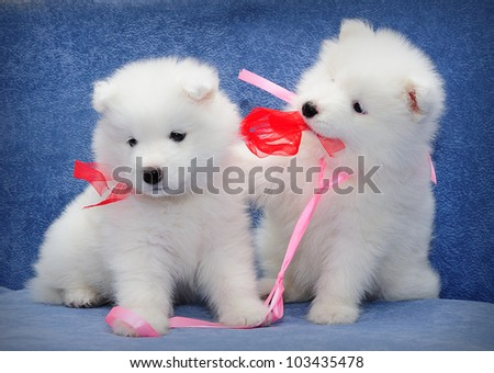 Cute puppies of Samoyed dog (also known as Bjelkier) playing with each other's ribbons - stock photo