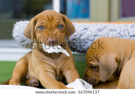 cute puppies playing together with a piece of paper and make a funny expression in face
