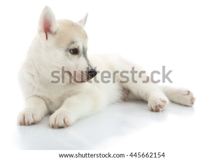 Cute Puppies Siberian husky on white background