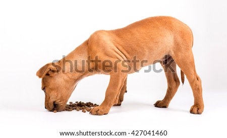 Cute puppy American Stafford Terrier eating dog food on white background. - stock photo
