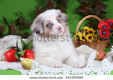 Cute Puppy Australian Shepherd with apples and flowers on a green background