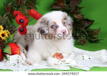 Cute Puppy Australian Shepherd with flowers and apples on a green background