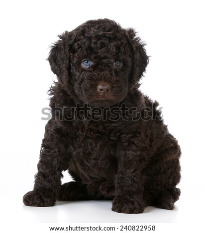 cute puppy - barbet puppy sitting on white background - 5 weeks old - stock photo