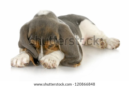 cute puppy - basset hound puppy burying his nose in paws with reflection on white background - stock photo