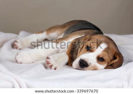 Cute puppy beagle lies on a blanket
