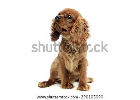 cute puppy Cavalier King Charles Spaniel  - stock photo