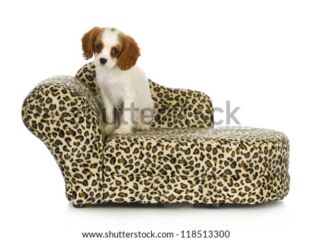 cute puppy - cavalier king charles spaniel sitting on a dog bed isolated on white background - stock photo