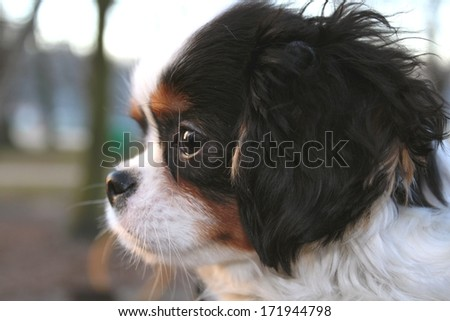 cute puppy - cavalier king charles spaniel tricolor puppy in the park - stock photo