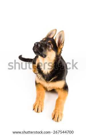 cute puppy dog german shepherd isolated on white looking up - stock photo