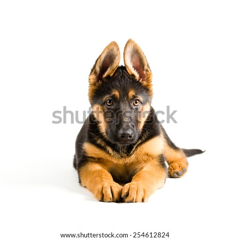 cute puppy dog german shepherd lying down on white background