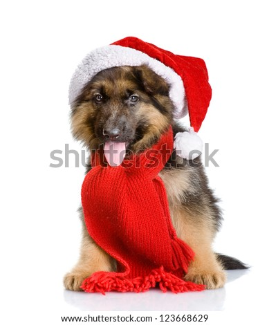 cute puppy dog in red christmas Santa hat. looking at camera. isolated on white background