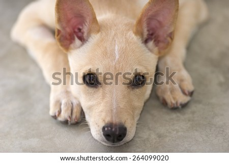 Cute puppy dog is looking up and sad with big brown eyes - stock photo