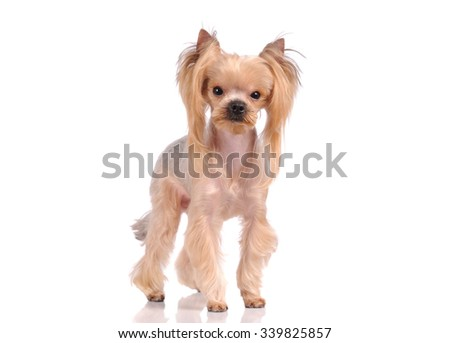 cute puppy dog isolated over white background