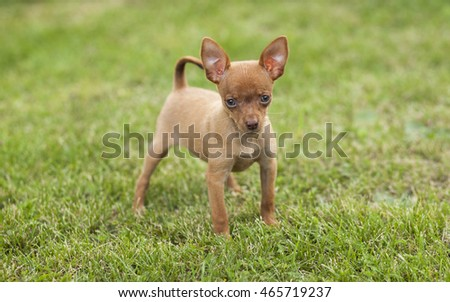 Cute  puppy dog russian toy is in the grass