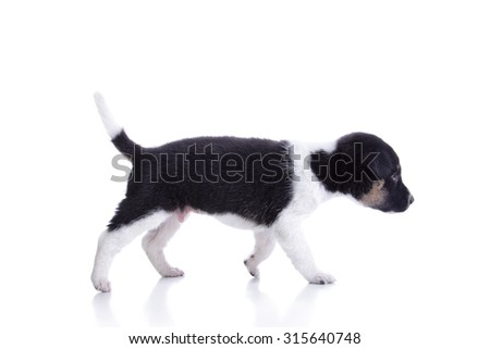 Cute puppy dog walking, isolated on ehite background - stock photo