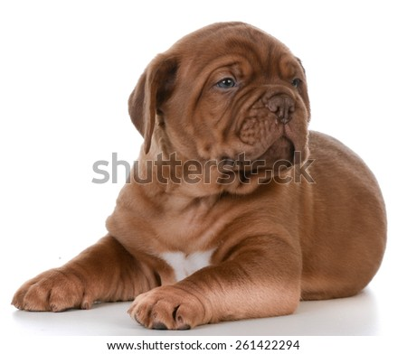 cute puppy - dogue de bordeaux puppy laying down on white background - stock photo