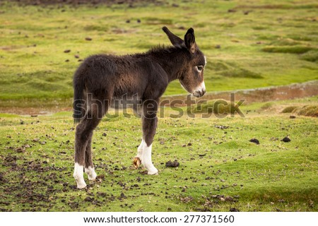 Cute Puppy donkey profile portrait with white paws - stock photo