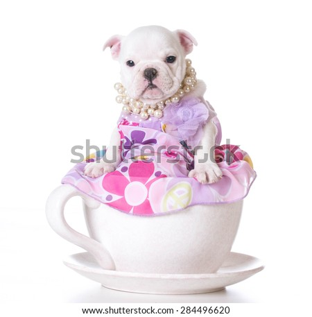 cute puppy - english bulldog female puppy sitting inside a teacup on white background - stock photo