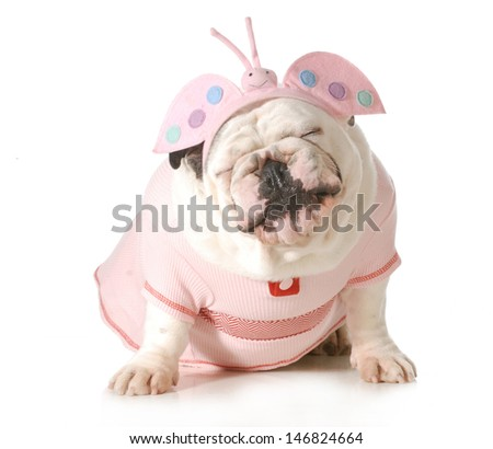 cute puppy - english bulldog female wearing cute costume isolated on white background - stock photo