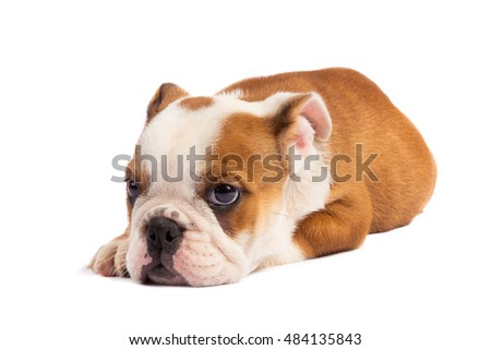 Cute puppy - english bulldog puppy