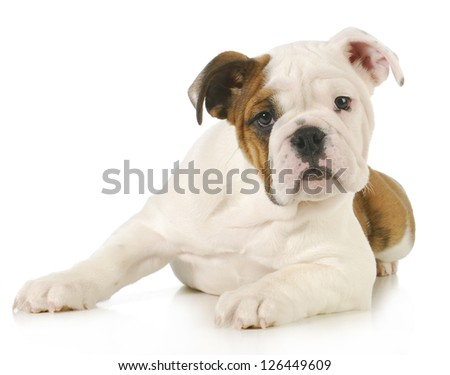 cute puppy - english bulldog puppy laying down looking at view on white background