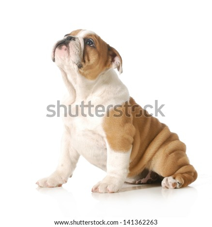 cute puppy - english bulldog puppy looking up isolated on white background - 12 weeks old