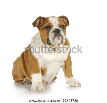 cute puppy - english bulldog puppy - 4 months old - stock photo