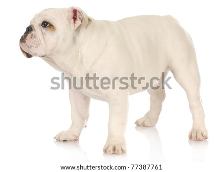 cute puppy - english bulldog puppy standing on white background - 5 months