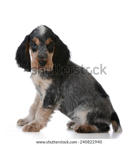 cute puppy - english cocker spaniel puppy  sitting on white background - stock photo