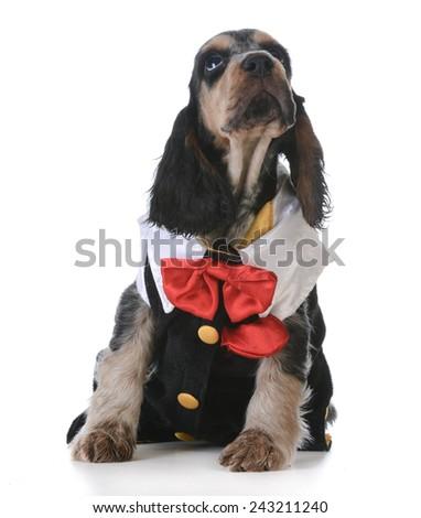 cute puppy - english cocker spaniel puppy  wearing tuxedo on white background - stock photo