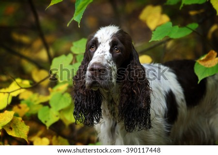 Cute Puppy English Springer Spaniel among leaves - stock photo