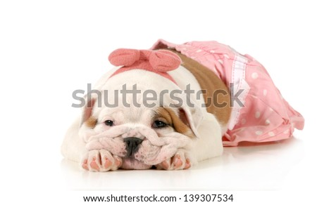 cute puppy - female english bulldog puppy wearing pink laying down isolated on white background - 8 weeks old - stock photo