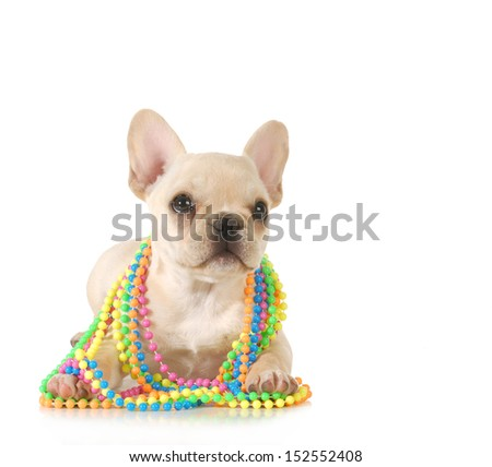 cute puppy - french bulldog puppy female with colorful beads around neck isolated on white  - stock photo