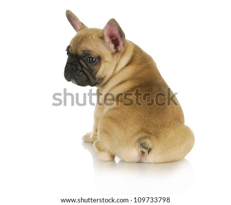 cute puppy - french bulldog puppy sitting looking over shoulder on white background - 8 weeks old - stock photo