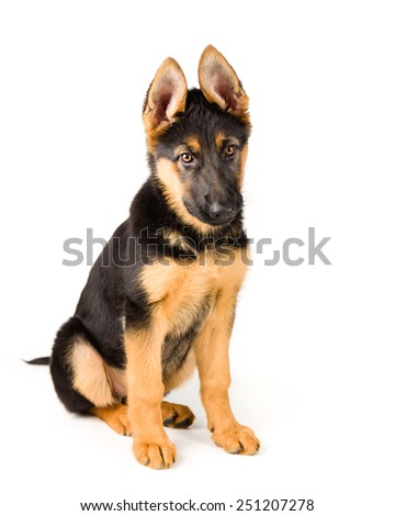cute puppy german shepherd dog sitting on white background - stock photo