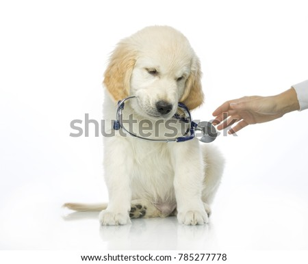 cute puppy holding phonendoscope in mouth isolated on white studio shot retriever sad sick doctor vet