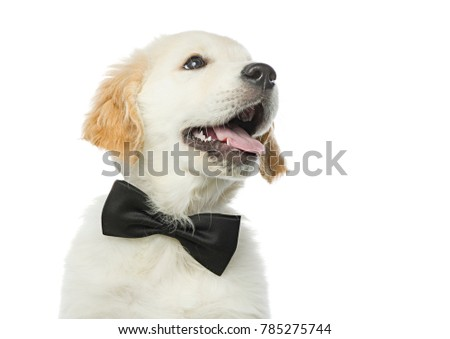 cute puppy in bow tie isolated on white studio shot looking up retriever happy smiling positive emotions