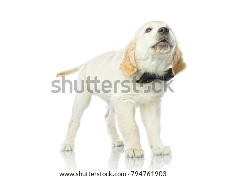 cute puppy in bow tie isolated on white studio shot  retriever singing howling barking