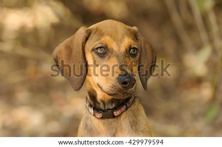 Cute puppy is a closeup of an adorable puppy dog with a beautiful face. - stock photo