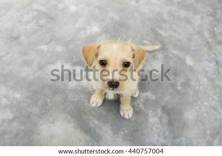 Cute puppy is a curious dog looking up with those great big inquisitive eyes. - stock photo