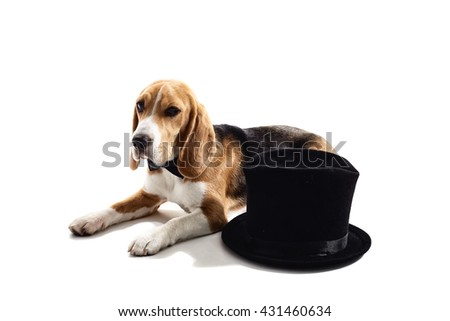 Cute puppy is resting near formal hat