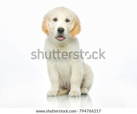 cute puppy  isolated on white studio shot looking at camera retriever sitting tranquil