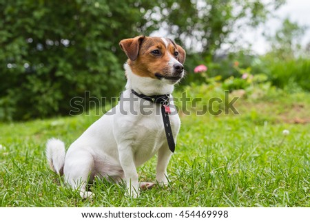 Cute puppy Jack Russell Terrier sitting on  green lawn in  garden on a sunny summer day