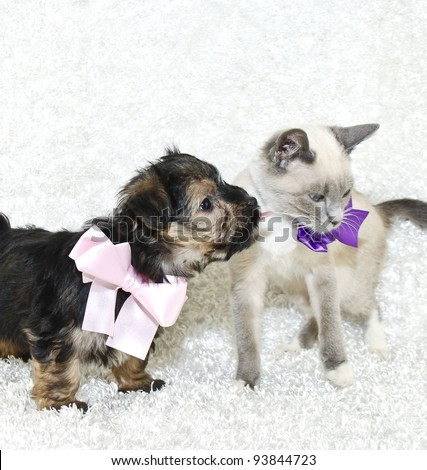 Cute Puppy kissing a kitten both wearing cute bows, on a white background. - stock photo