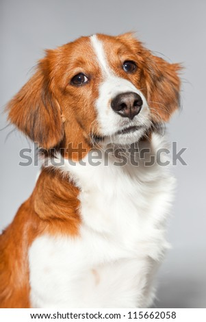 Cute puppy Kooiker hound. Studio shot isolated on grey background. Closeup shot. - stock photo
