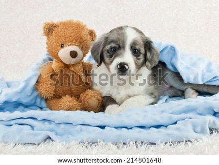 Cute puppy laying in a blue blanket with a teddy bear. - stock photo