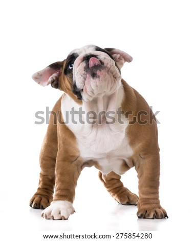 cute puppy looking up on white background - bulldog three months old