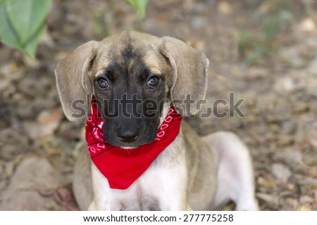 Cute puppy love isolated closeup with big eyes and floppy ears - stock photo
